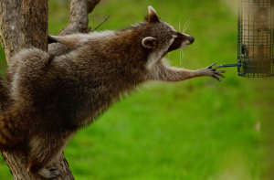 raccoon reaching for bird feeder