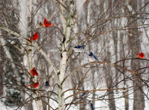 Blue Jays and cardinals in a tree