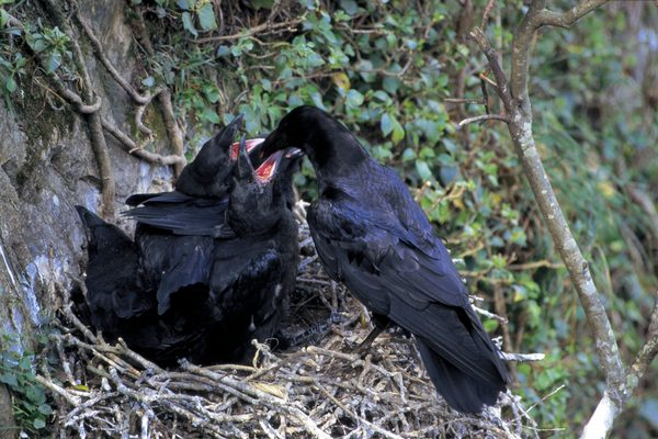 Nesting Season of the American Crow Crowsnet Project