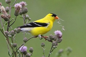 A male American Goldfinch gathers thistle seed for the nest.
