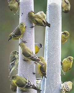 Goldfinch in winter plumage at thistle feeders