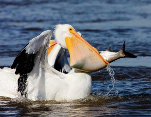 Looks impossible - but pelicans can swallow very large fish.
