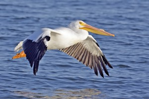 An American White Pelican - note the black wingtips.