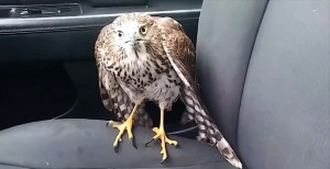 This is Harvey the Hurricane Hawk