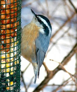 red_breasted_nuthatch at feeder