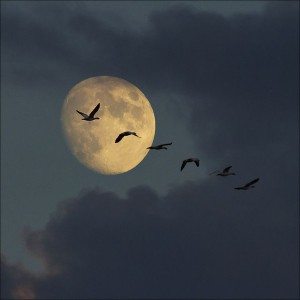 Full moon night's sometimes highlight the flight of Canada Geese in migration.