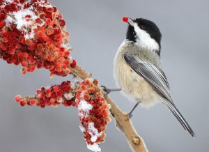 This Black-capped Chickadee has found some Sumac berries.