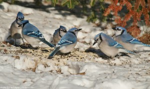 Blue Jays travel and feed in flocks, especially in the winter months.