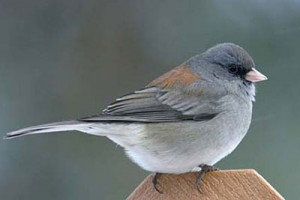 Dark-eyed Juncos are among the losers in this recent report.