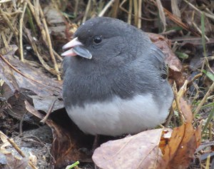 Juncos are seed eaters and forage on the ground for food.
