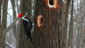 These large rectangular holes are typical Pileated excavations.