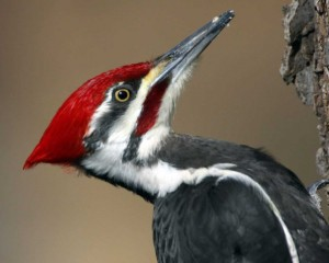 The red 'moustache' identifies this as a male Pileated woodpecker