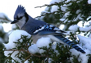 This Blue Jay is perched on a snowy cedar tree.