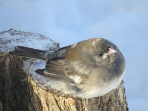 A Dark Eyed Junco fluffs  up its feathers to stay warm.