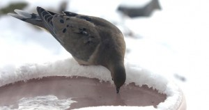 This Mourning Dove is finding refreshment at a heated bird bath.