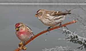 These winter finches - come south for the winter months. You can see they are the same size; the Redpoll with a red cap, and the Pine Siskin with brown streaked feathers.