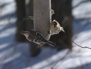 These Redpolls are on a thistle feeder -  a fabric 'sock' with a fine mesh.