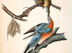 Audubon painting of Passenger Pigeons which were declared extinct in the wild in 1914.