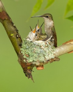 Seeing how small these birds are compared to the human hand, imagine how small the chicks are in this nest!