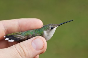Holding a female Ruby throated Hummingbird in the hand is remarkable