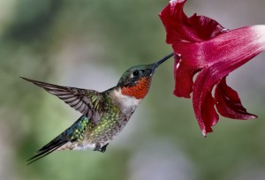 The  appropriately named male Ruby throated hummingbird visits a flower in search of nectar.