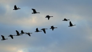 Canada geese often travel in this easily seen 'V' formation - honking as they go.