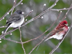 A Dark-eyed Junco and a Purple Finch hang out on a spring shrub - notice the pussywillows?