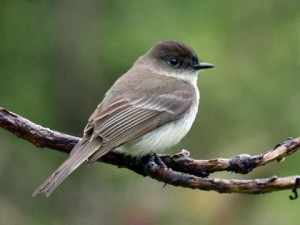 Not a flashy bird, the Eastern Phoebe has muted gray feathers on its back, a white breast and darker gray head with an all black bill.
