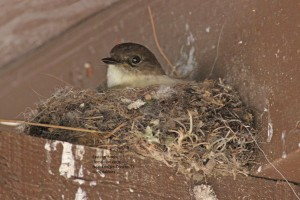 Female Phoebe in her nest of leaves, mud and moss - on a rafter close to the ceiling.