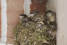 The small nest soon becomes very cramped for the growing chicks and they struggle for space.