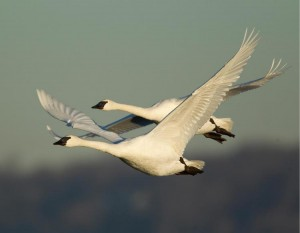 Trumpeter swans typically travel in pairs or three, not large flocks.