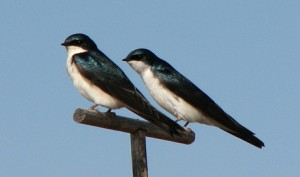 A pair of Tree Swallows perch together and their iridescent blue wings sparkle in the sunshine.