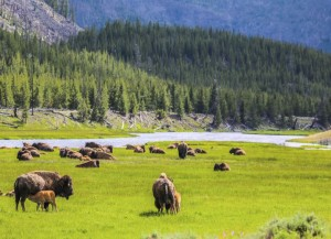 The most obvious animals in Yellowstone National Park  - American Bison. You know it is spring time by the  orange colored calves near their mothers.