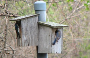 Tree Swallows and Bluebirds compete for the same nests - it  is quite unusual to see the two living so close to one another.