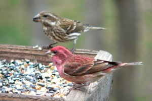A brightly colored male Purple Finch perches next to a female of the same species.