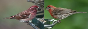 The House Finch on the right looks like the Purple Finch but its feathers are more of a true red color.