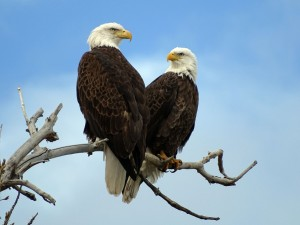 Seeing one Bald Eagle is a thrill - seeing a pair together is hitting the jackpot.