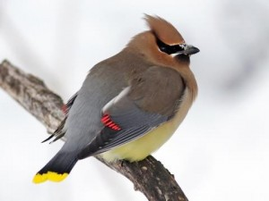 The red tips on the wings of Cedar Waxwings is just a fat glob of keratin.  It has a waxy appearance; hence their name.