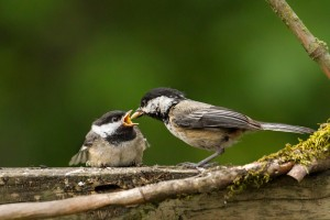 A Black-capped Chickadee gives its fledgling a seed. Note the low posture of the little one.