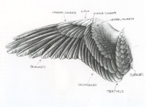 Here you can see the various specialized feathers found on every bird's wing