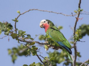 The beautiful Bahama  Parrots may have survived on some  of the other islands that were less damaged by Hurricane Dorian.