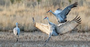 The Whooping Cranes were spared the worst effects of Hurricane Harvey.