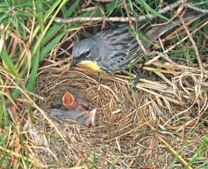 The ground nest of the Kirtland's Warbler  is cup shaped and set in a depression on the ground. It is  made with a mix of grasses, pine needles, rootlets, and leaves.