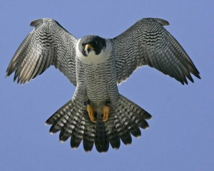 The recovery of Peregrine Falcons is a success story -- one we should use as an inspiration for the challenges that we face now.