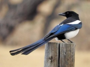 The beautiful and clever Black-billed Magpie