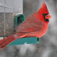 The male Cardinal adds a bright note to winter days