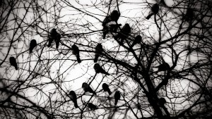 A gathering of Crows is called a 'Murder' which is probably what feel like doing when a flock roosts near their home