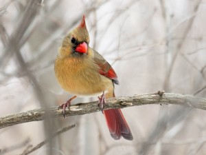 The female cardinal has a much more subdued form of beauty - all the better to be inconspicuous during the nesting season.