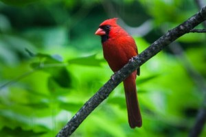 The male Northern Cardinal looks like it belongs in a tropical forest, not a temperate one.