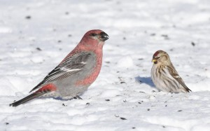 A Pine Grosbeak and Common Redpoll - two of the birds I long to see this winter.